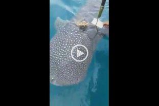 Video: Un tiburón ballena saluda a pescadores que lo ayudaron a liberarse de una cuerda
