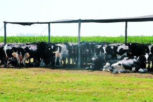 Alerta: Se esperan niveles altos de estrés calórico en bovinos en los próximos días