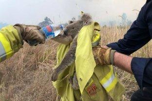El 25% de los koalas de Nueva Gales murió por incendios
