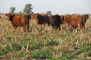 Intoxicaciones en bovinos: cómo evitarlas