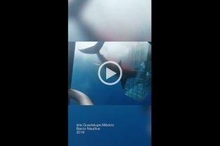 Video: Polémica por la muerte de un tiburón blanco en una jaula de turistas