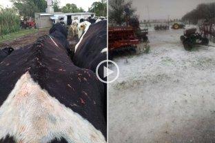 Fuerte tormenta de granizo causó graves daños en animales y cultivos en Córdoba