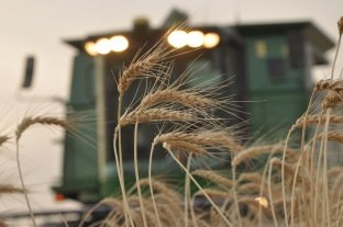 Trigo: la mayor superficie cosechada en 10 años