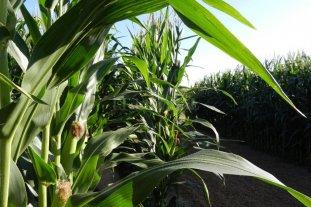 El maíz temprano se desarrolla bajo condiciones óptimas