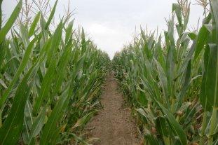 Una de cal y otra de arena para el maíz santafesino: los de primera relucen y los tardíos se retraen