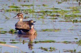 Patos, gallaretas y tortugas, los nuevos habitantes del humedal