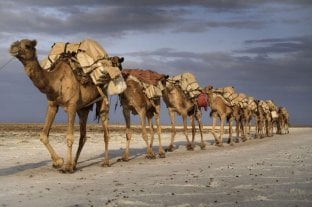 Más de 5.000 camellos salvajes ya fueron sacrificados en Australia