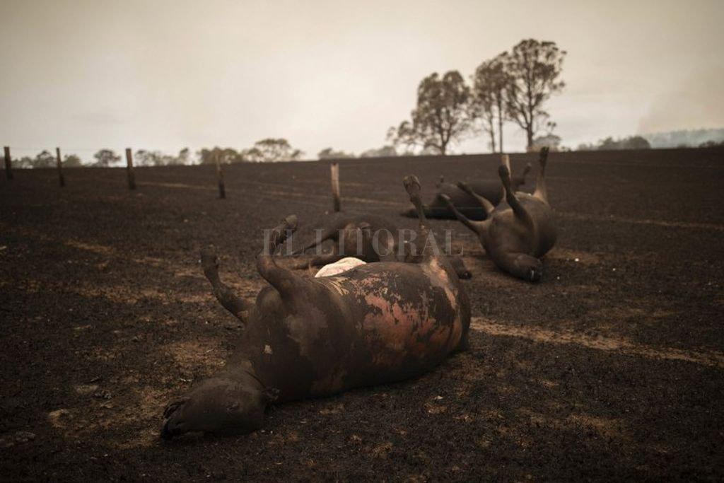 """Resultado de imagen para Incendios en Australia, un """"cisne negro"""" para el comercio mundial de carnes"""