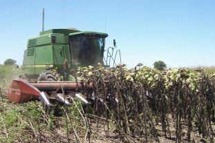 Ya se cosechó la mitad del girasol en el centro norte santafesino
