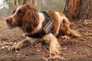 Taylor, la perra que ayuda a rescatar koalas en los incendios de Australia
