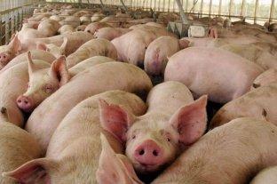 Cerdos: China invertiría U$S 500 millones en Córdoba
