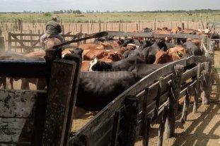 Arreaban 40 vacunos robados cuando fueron sorprendidos por Los Pumas cerca de Tostado