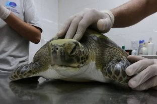 Impactante: mirá la cantidad de plástico que defecó una tortuga