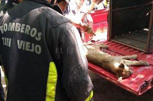Rescataron al puma que causó temor en Tucumán