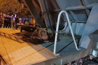Buscan una familia para el pitbull rescatado del tren que descarriló