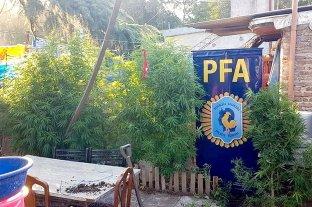 """La """"huerta"""" en casa: tenía plantas de marihuana de 2,5 metros de alto"""