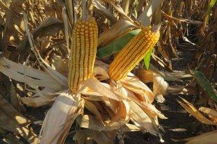Sigue firme la cosecha de girasol y comienza en maíz de primera