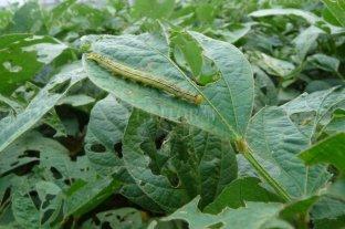 Alerta por insectos que pueden afectar los rindes de soja