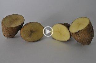 El INTA siembra las primeras papas que no se oxidan