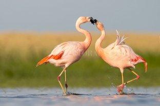 Científicos censan a los flamencos de la Laguna Mar Chiquita