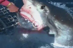 Video: Una mujer alimenta a un enorme tiburón blanco como si fuera su mascota