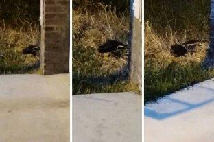 Vecinos preocupados por un yacaré que merodea por las casas en el norte de la ciudad