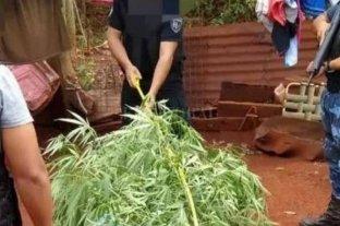 Una mujer de 74 años fue detenida por cultivar marihuana para uso medicinal