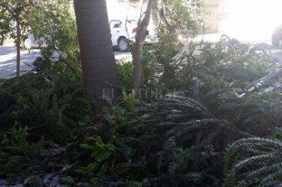 Comenzaron a retirar la Araucaria que ponía en peligro a los vecinos de barrio Candioti