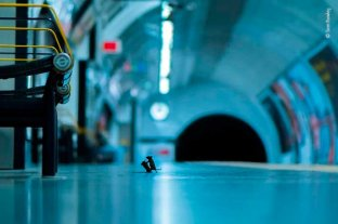 Una pelea de ratones en el subte de Londres, mejor foto de naturaleza del año