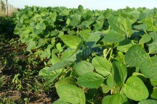 Soja de primera: se destacan las buenas condiciones del cultivo en el centro norte santafesino