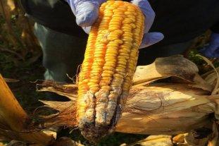 Maíz tardío: cuándo cosechar para evitar el desarrollo de micotoxinas