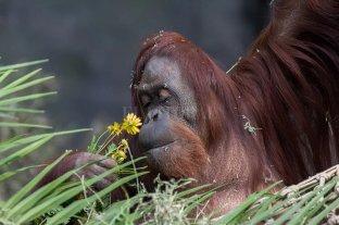 La orangutana Sandra ya tiene novio