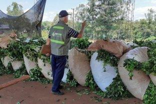 El Instituto Nacional de la Yerba Mate investiga irregularidades y robos de hoja verde