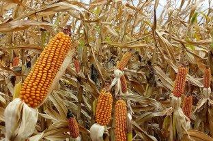 El maíz de primera muestra muy buenos primeros resultados