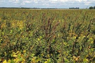 Yuyo colorado: ya afecta a más del 50% de la superficie agrícola de todo el país
