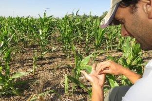 El maíz, en jaque