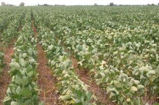 La falta de agua afecta a la soja de segunda en el sur santafesino