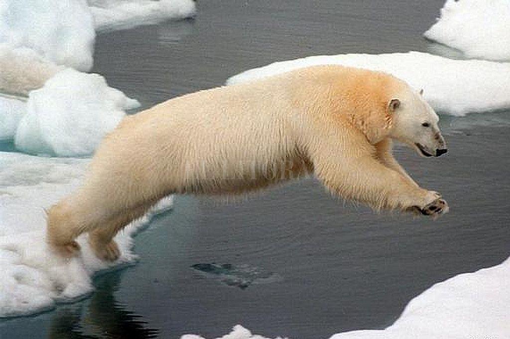 Osos polares se vuelven caníbales por calentamiento global
