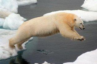 Científicos observan un aumento del canibalismo entre osos polares