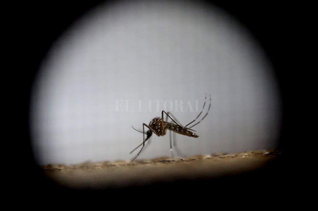 """El """"Aedes aegypti"""", un mosquito traicionero que pica y enferma. Crédito: Archivo El Litoral"""