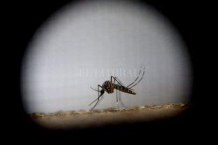 """Dengue: el aislamiento social aumenta el contacto con el aedes aegypti - El """"Aedes aegypti"""", un mosquito traicionero que pica y enferma. -"""