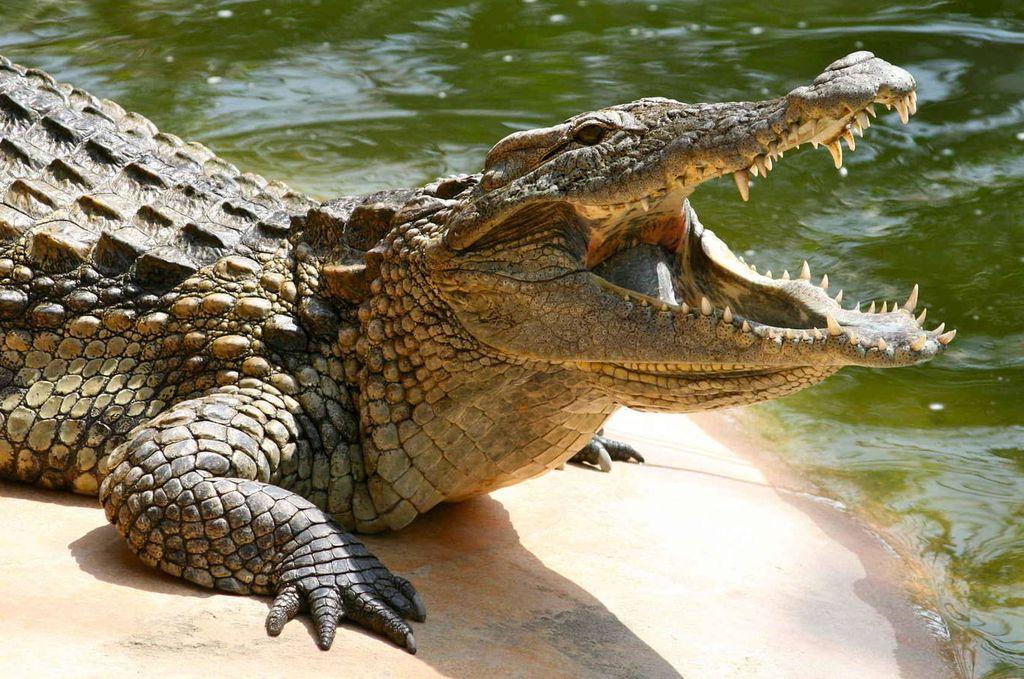 Coronavirus: no respetó la cuarentena y se lo devoró un cocodrilo - viste