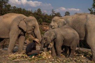 En Tailandia liberan a 78 elefantes que estaban siendo explotados ante la falta de turistas