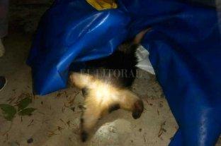 Rescataron un oso melero en el norte de Santa Fe -  -