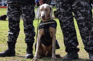 """Bruno, el weimaraner considerado """"el Messi de los perros"""""""