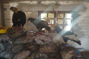 Cinco ejemplares de cóndor andino fueron liberados al recuperarse de una intoxicación