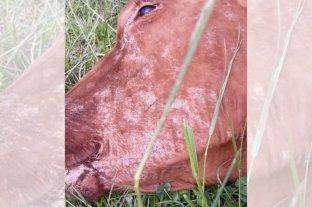 Intoxicaciones en bovinos: buscan determinar los factores de riesgo