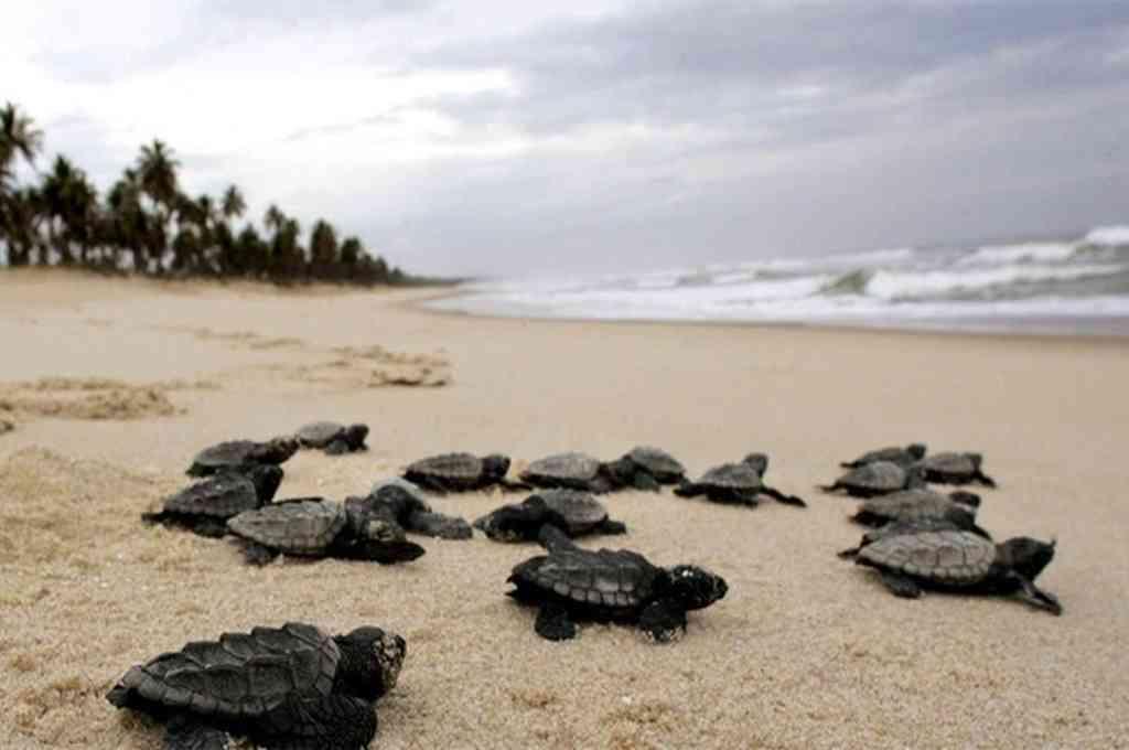 Las tortugas carey aprovecharon lo desértico de la playa Janga para a casi un centenar de ejemplares.  Crédito: Gentileza