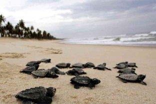 Brasil: nacieron 97 tortugas de una especie en peligro de extinción
