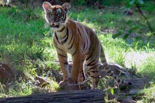 En un zoológico de Nueva York un tigre dio positivo de coronavirus -  -